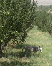 Orchard with integrated grazing and fodder production